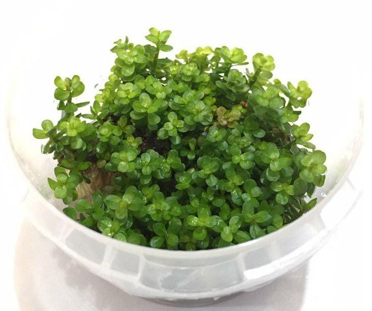 گیاه روتلا بونسای اکواریومی