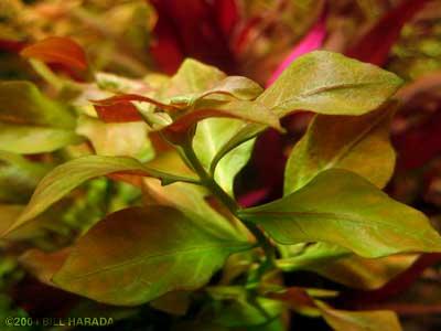 گیاه پشت قرمز