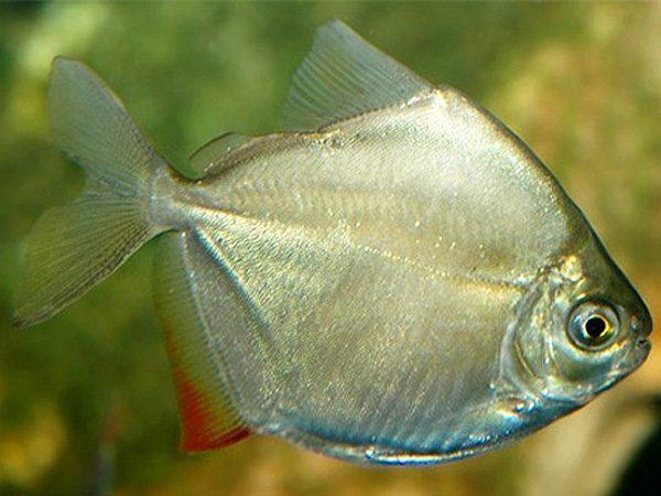 پک ماهی گیاه خوار 2