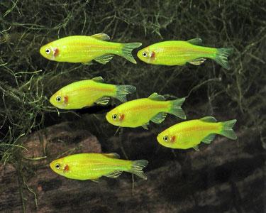 پک ماهی زبرا سبز