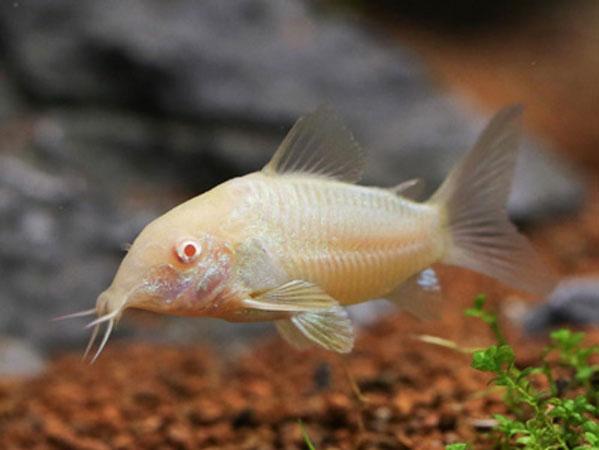 پک ماهی کف خوار( ماهی کوریدوراس)