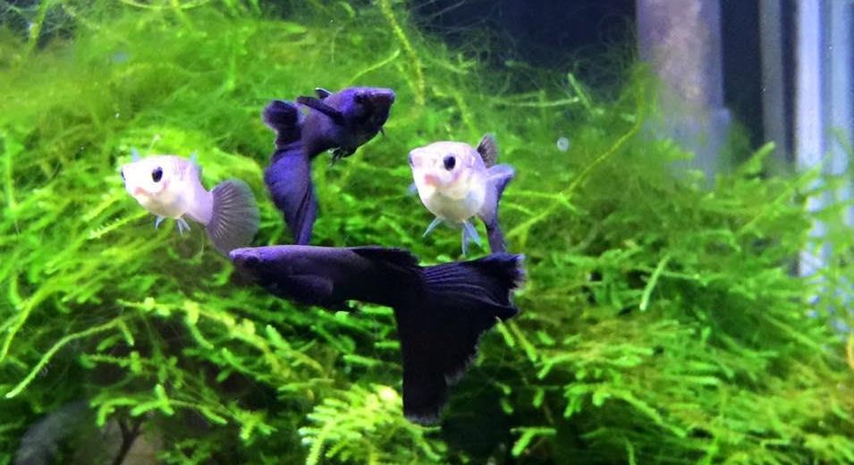 ماهی گوپی فول بلک مولد