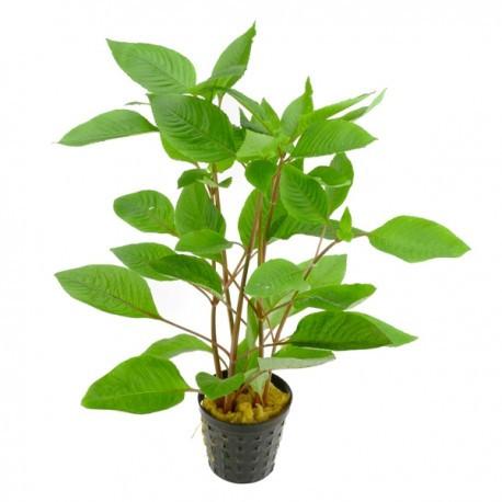 گیاه آکواریوم سیبی