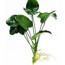 گیاه آنوبیاس بارتری وار بارتری / سایز M
