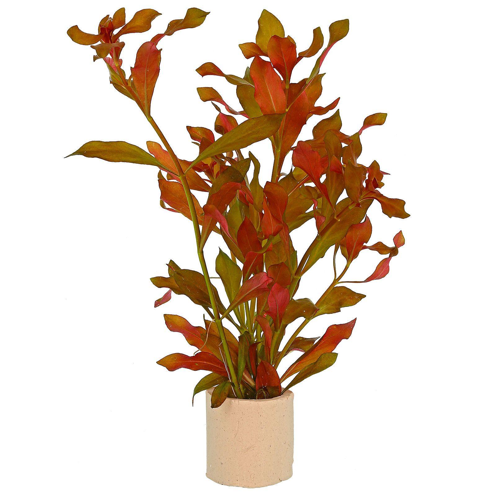گیاه آکواریومی لودویجیا سوپر رد