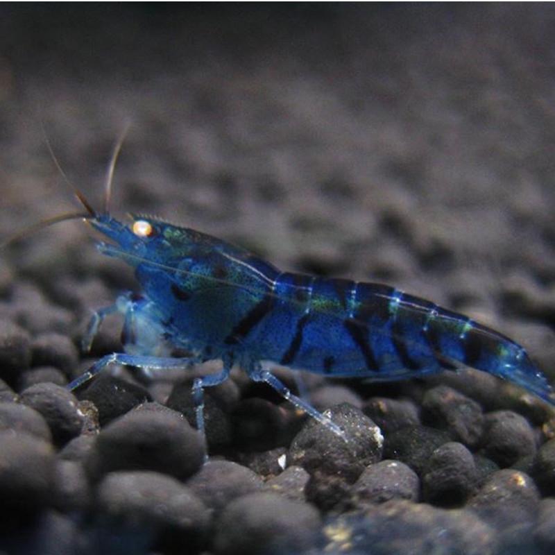 پک میگو آبی