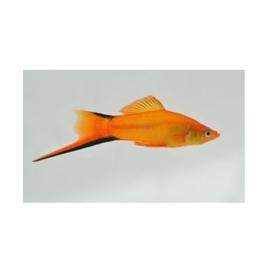 سواردتیل گلدن 3تا4 cm