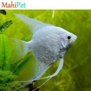 ماهی آنجل کوی آلبینو