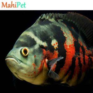 ماهی اسکار تایگر لئوپارد
