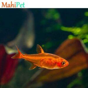 ماهی تترا امبر