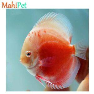 ماهی دیسکس رد ولنتاین-1