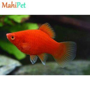 ماهی پلاتی خونی