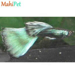 ماهی گوپی گرین مسکو