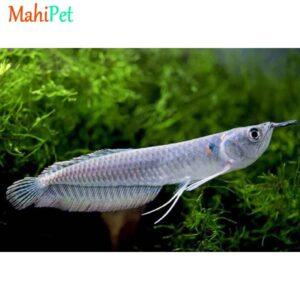 ماهی آروانا