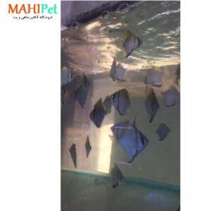 ماهی آنجل مونو 3 اینچ (2)