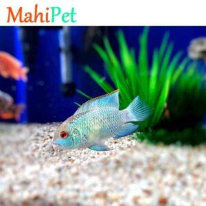 ماهی بلو آکارا مولد