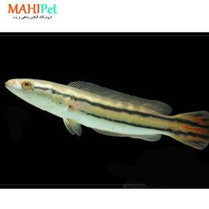 ماهی سرماری گلکسی