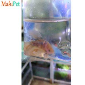 ماهی فایتر خاص1