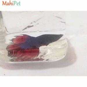 ماهی فایتر سه رنگ دم قرمز