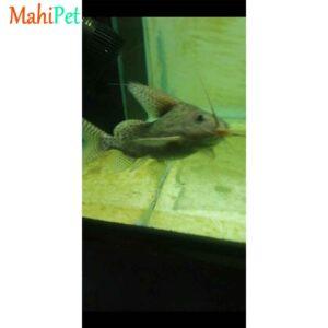 ماهی کت خاردار-1