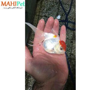 ماهی گلدفیش ردکپ (اور سایز)-1