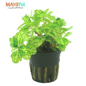 گیاه آکواریومی شینرسیا ریولاریس