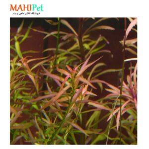 گیاه آکواریومی لودویجیا ارکوتا-1