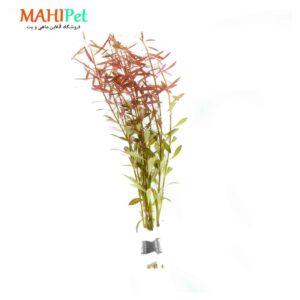 گیاه آکواریومی لودویجیا ارکوتا