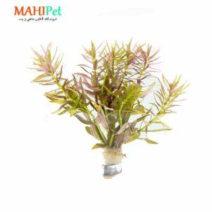 گیاه آکواریومی لیمنوفیا آروماتیک