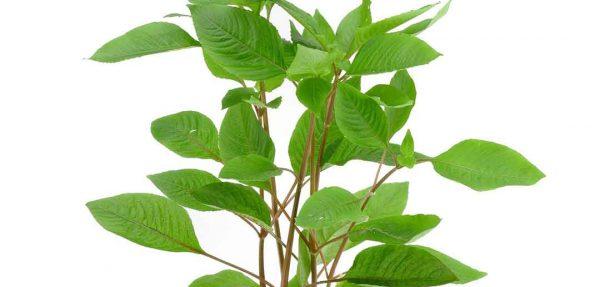 گیاه آکواریومی هاگروفیلا کریمبوسا