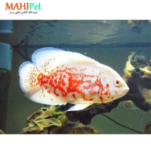 ماهی اسکار آلبینو 7 تا 10 سانت