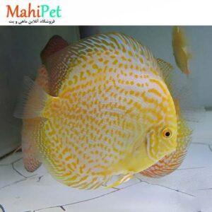 ماهی دیسکس گلدن بیژن 4.5 اینچ