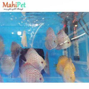ماهی دیسکس گلدن بیژن 4.5 اینچ (2)