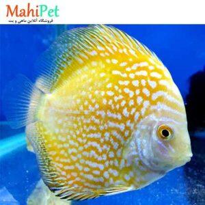 ماهی دیسکس یلو ملون 3 اینچ