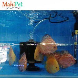 ماهی دیسکس یلو گلدن 4.5 اینچ (2)