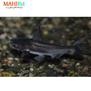 ماهی پنگوسی مشکی 3 تا 5 سانت