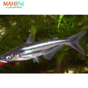 ماهی پنگوسی معمولی