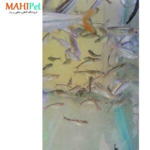 ماهی پنگوسی معمولی (2)
