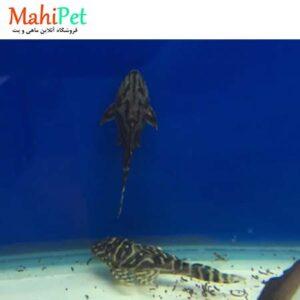 ماهی کت فیش L129 (2)