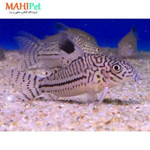 ماهی کوریدوراس جولی 3 تا 5 سانت