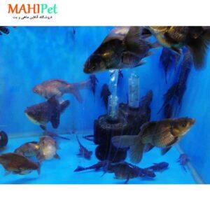 ماهی گلدفیش مشکی 6 تا 8 سانت (2)