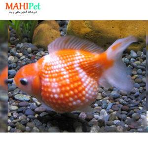 ماهی گلدفیش پرل اسکال 5 تا 7 سانت