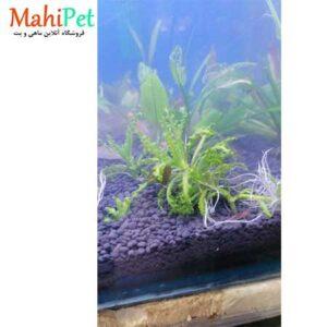 گیاه پوگوستمون هلفری بوته ای (2)