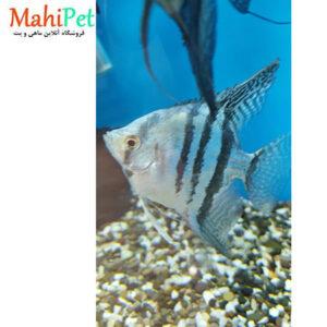 ماهی آنجل بلو زبرا (وارداتی) 2.5 اینچ