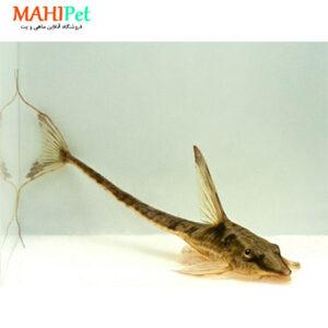 ماهی کت فیش دم عقربی 5 تا 7 سانت