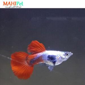 ماهی گوپی سیلور رد بیگ ایر 3 تا 5 سانت (جفت)