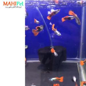 ماهی گوپی سیلور رد بیگ ایر 3 تا 5 سانت (جفت) (2)