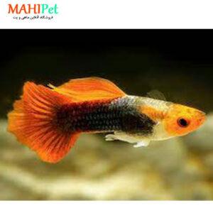 ماهی گوپی کوی 3 تا 5 سانت (جفت)