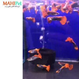 ماهی گوپی کوی 3 تا 5 سانت (جفت) (2)