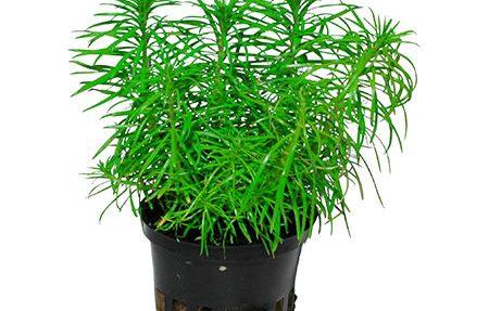 گیاه آکواریومی ارکتوس (شاخهای)